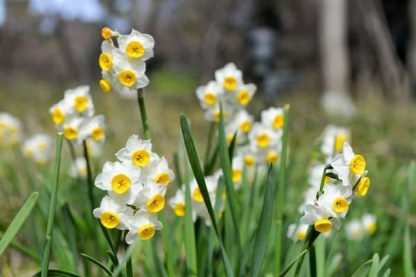 چگونگی تکثیر گل نرگس